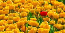 photo of a lot of yellow tulips with one red one