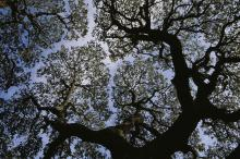 Photo looking up into the silhouetted branches and green foliage of sycamore tree